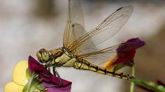 'Libellen reizen het verst van alle insecten'