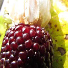 """http://fotomacro.tumblr.com/ Copyright © 2015 Foto Macro - All Rights Reserved #fall #autumn #macro #photography #nature #nofilter #corn #harvestcorn…"""