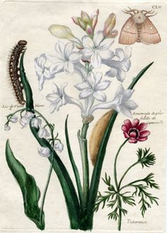 lily of the valley | maria sibylla merian