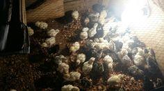 Day old turkeys Farming, Firewood, Turkey, Backyard, Woodburning, Patio, Turkey Country, Backyards