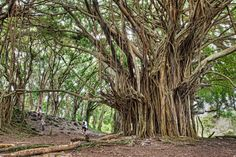 Ancient Banyon Tree Taken on Hawaii's Big Island, this beautiful photograph of an ancient Banyan tree was by photographer James Brandon. This massive tree is located at Rainbow Falls. The tree is about years old. Epic Photos, Photos Du, Banyon Tree, Lac Michigan, Sculpture Images, Rainbow Falls, Photo Images, Unique Trees, Old Trees