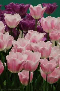 Just look at these beautiful tulips, of course these are from Holland. Pink is perfect.