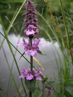 25 Marsh Woundwort Hedge Nettle Stachys Palustris Herb Purple Flower Seeds Moist   eBay