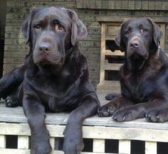 Labradores, noble s y fieles, los adoro
