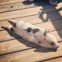 72 Of The Funny Animal Memes To Start The Week With A Smile My colleague's pig, Bacon seed, sun-bathing :))) Cute Baby Pigs, Cute Piglets, Baby Piglets, Mini Piglets, Cute Little Animals, Cute Funny Animals, Funny Animal Names, Cute Little Things, Pet Pigs