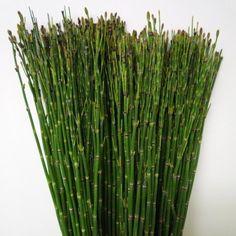 pr le pr le du japon plantes vertes pinterest prele du japon prele et jardins. Black Bedroom Furniture Sets. Home Design Ideas