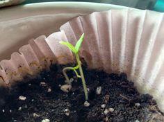 Grow tomato!