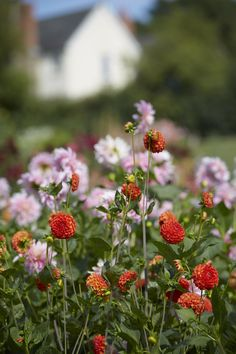 cosmos & dahlias via