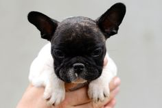 Octavio Del Makarti du Fleur De Vanille • French Bulldog Puppy