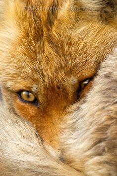 Red Fox by Menno Schaefer on 500px
