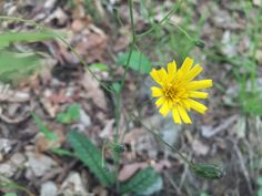 One of many styles of False Dandelions. This one is most likely a Hawkweed. May Flowers, Wild Flowers, Spring Wildflowers, April Showers, Dandelions, Plants, May Birth Flowers, Dandelion, Planters