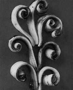 Karl Blossfeldt was a German photographer, sculptor, teacher and artist who worked in Berlin, Germany. He is best known for his close-up. Karl Blossfeldt, Abstract Photography, Artistic Photography, White Photography, Urban Photography, Color Photography, Photography Ideas, Edward Weston, Flower Power