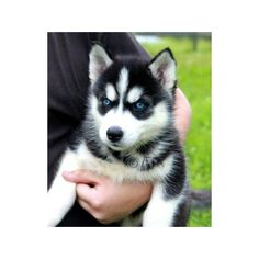 Blue-eyed baby boy! Jason and I want one SO badly! This is a minature siberian husky.