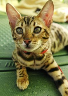 Bengal Kittens Bengal Cats - The Happy Cat Site - A complete guide to the Bengal cat breed. Where Bengal cats came from, what their temperaments and behavior are like, and information on Bengal cat care. Cute Kittens, Cats And Kittens, Cats Bus, Bengal Cat For Sale, Bengal Cats, Cool Cats, Cat Site, Asian Leopard Cat, F2 Savannah Cat