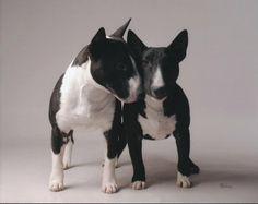 B&W bully