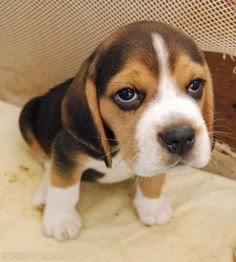 doggy #dog #beagle #animal #   ...........click here to find out more     http://googydog.com