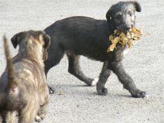 Scottish Deerhounds Deerhounds in the UK Deerhound Stud Dog