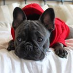 See this Instagram photo by @lili_the_frenchie • 876 likes