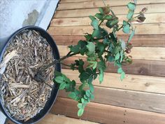 TIME TO PRUNE ROSE BUSHES Be sure and prune your rose bushes now for new and healthy growth in Spring.  Also, you can successfully treat your rose bushes without using chemicals most of the time.  I have not used chemicals to treat my rose bushes in years.  This bush was pruned in early February 2017. Rose Bush, Good Times, February, Gardening, Canning, Healthy, Spring, Plants, Lawn And Garden
