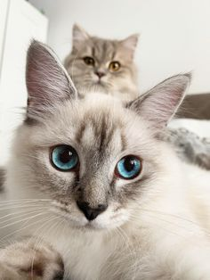 Cute Overload: Internet`s best cute dogs and cute cats are here. Aww pics and adorable animals. Cute Cats And Kittens, Baby Cats, Kittens Cutest, Cute Baby Animals, Animals And Pets, Funny Animals, Pretty Cats, Beautiful Cats, Cute Cat Wallpaper