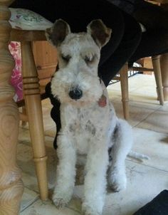 Esther my wire haired fox terrier. Under the table waiting for some clumsy human eating.