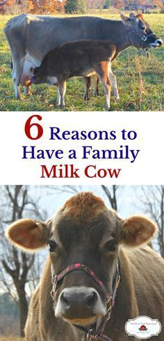 There are many reasons to have a family milk cow on the homestead. Have you thought about getting a dairy cow for your family? I love having fresh raw milk! Raising Cattle, Raising Goats, Raising Farm Animals, Dairy Cattle, Future Farms, Beef Cattle, Raw Milk, Chickens Backyard, Backyard Farming