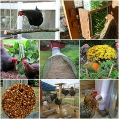 Many options are available when you want to update your chicken coop. A lot of chicken coop upgrades you may want to do are really simple and inexpensive.