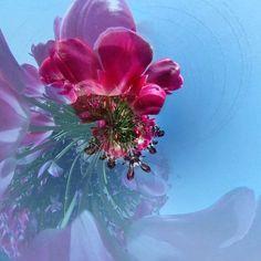 #red #flower #littleplanet #tinyplanet #rabithall #spherical #theta360 #ig_japan #ig_flower