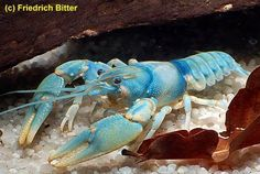 Blue Crayfish 'Cambarus Scotti' Environmentally induced blue. Photographed by Friedrich Bitter. USA