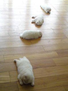 Spoor van Puppies - they look like mini polar bears! I want one! :)