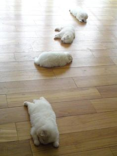 Spoor van Puppies - they look like mini polar bears! I want one! :)