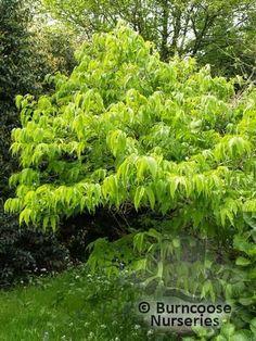 Buy Heptacodium Miconioides plants from Burncoose Nurseries