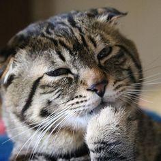 見ないでもらえます? と言いたげのさくらくん🐈 #グルーミング の途中を#激写 ¨̮ )/ さくらは耳の病気で 耳が縮んでしまった為 #丸顔 すぎるぐらい丸いですww でも我が家族は そんな#愛嬌 たっぷりのさくらの丸顔が#大好き °ʚ(*´꒳`*)ɞ°. 垂れ耳はさくらの#チャームポイント です🐈💕 #猫 #ねこ #愛猫 #cat #にゃんこ #にゃんすたぐらむ #にゃんだふるらいふ #にゃんだふる #Kissx8i #カメラ部 #camera  #カメラ女子 #写真  #フィルター越しの私の世界 #love #smile #happy #lovelife❤️ #好き