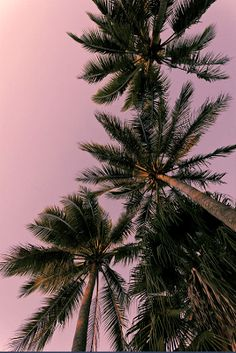 palm trees and a pink sky