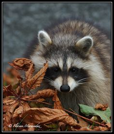 Raccoon 5 by Ptimac on deviantART