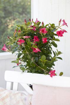 Slik steller du ynde (mandevilla) | Stelletips fra Mester Grønn Planting Flowers, Flower Plants, Flora, Planters, Nature, Home Decor, Gardening, Cold, Naturaleza