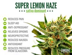 Super Lemon Haze at The Green Solution offers so many health benefits, it's hard not to appreciate this frosty beauty.