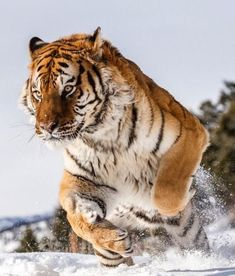 beautiful-wildlife: Amur Tigerby suhaderbent #BigCatFamily