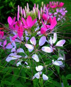 Cleome--self-seeding, or you can save the easy-to-collect seeds and toss them on the ground in spring.