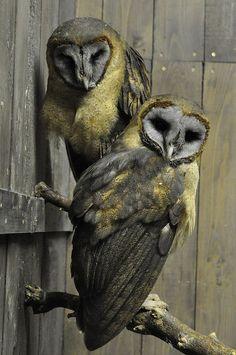 Ashy Faced Owl - Tyto Glaucops - Fuji-Kachoen Japan by Ogawasan on Flickr.