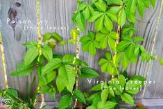 Poison ivy is one of the worst problems for gardeners. Know how to identify and eradicate the plant. And protect yourself from the awful rash.