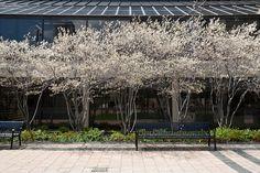 Amelanchier in bloom (great multi-season small tree)