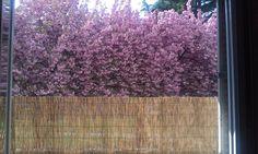 Photo proposée par Julia Mi Amor  (vu de notre balcon de notre hlm, des arbres en fleurs magnifiques ^^) #printemps