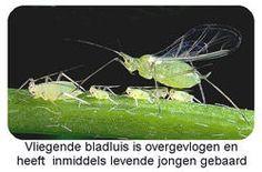 bladluizen bestrijden van ongedierte als bladluis bestrijding venijn op planten