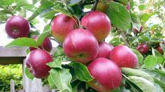 Способы хранения яблок зимой