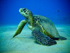 sea turtles | Green Sea Turtle