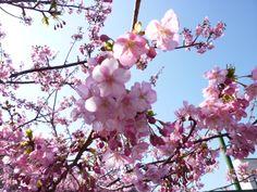 "Festa""Kawazu-Sakura"", Kawazu, Izu(Shizuoka), Japan"