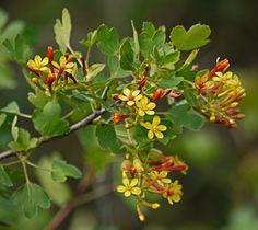 Botanic Name: Ribes aureum Common Name: Golden Currant Size: 3-6'h x 3-4'w Sun: Sun-Part Shade H20: Occ.H2O/dry