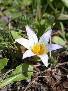 Romulea bulbocodium.  Order:Asparagales Family:Iridaceae Subfamily:Ixioideae Tribe:Ixieae Genus:Romulea