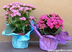 Kalanchoe Care: As A Houseplant and In The Garden. A popular blooming succulent.